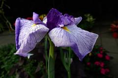 「鳶尾花」