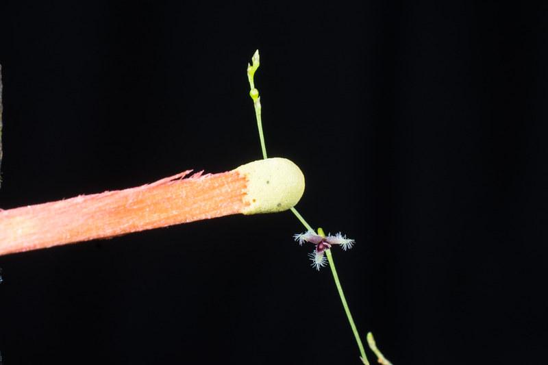Miniatur-Orchideen Teil 3 23791497223_79e9f7390e_c