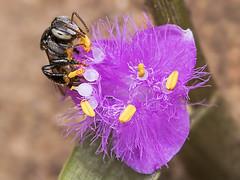 Bee in Cyanotis