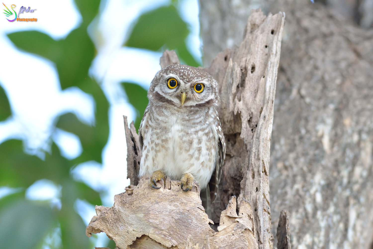 Spotted_Owlet_3568
