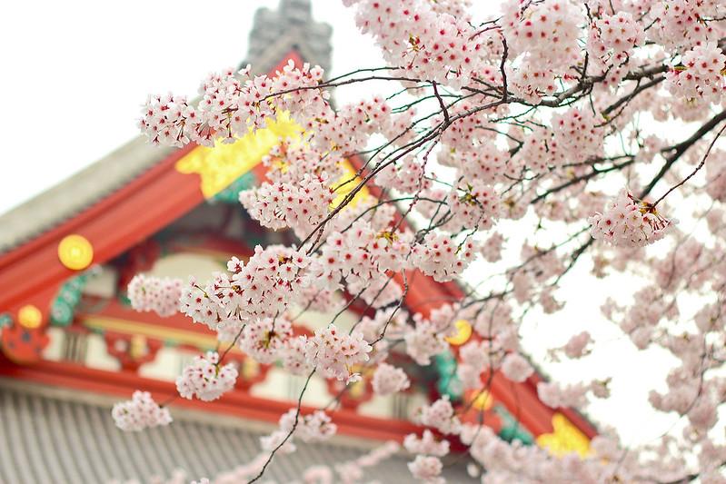 Sakura in Asakusa