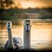 The Swan's Escaped by daniel_munch