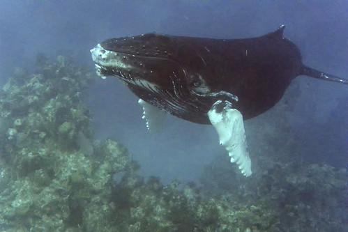 humpback calf