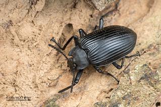 Darkling beetle (Tenebrionidae) - DSC_7114