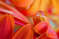 Gerbera Droplet