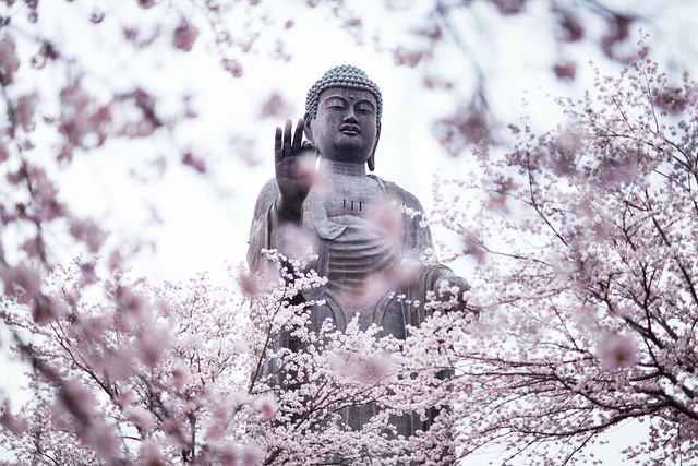 20160412_10_large statue of Buddha & Cherry Blossoms Phlox subulata