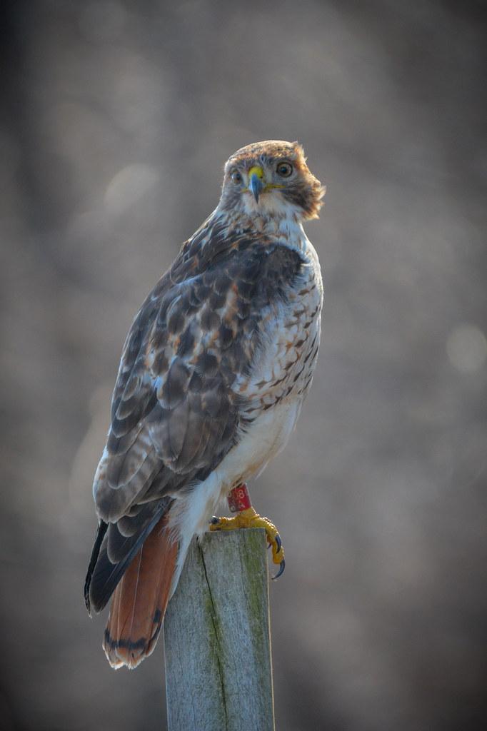 Red-Tail Hawk - Juvenile