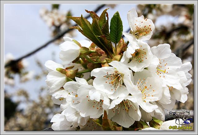 5 Caderechas en flor