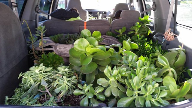 And there's the second load. There's one more succulent and two California poppies to bring over, then all my plants are home! I can't lift those tho, they are very heavy. We are so close to being completely moved. So.Close. #MargaretsSucculents #MovingA