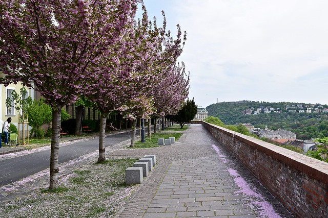 Flowering Trees in Buda