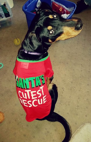 Rescued Doberman Puppy Mix is Santa's Cutest Rescue #adoptdontshop #dogrescue - Lapdog Creations