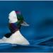 Bufflehead by BN Singh