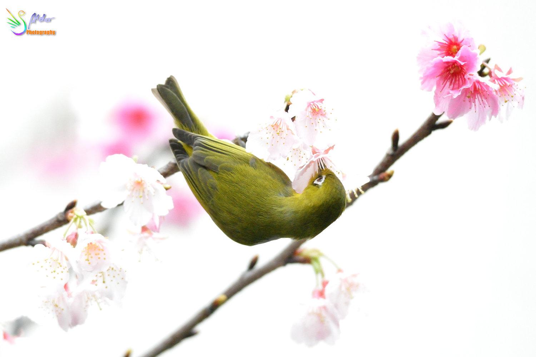 Sakura_White-eye_7790