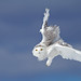 Flight of the Snowy Owl by Jim Cumming