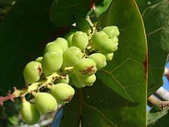 starr-080604-5971-Coccoloba_uvifera-fruit-South_Beach_Sand_Island-Midway_Atoll
