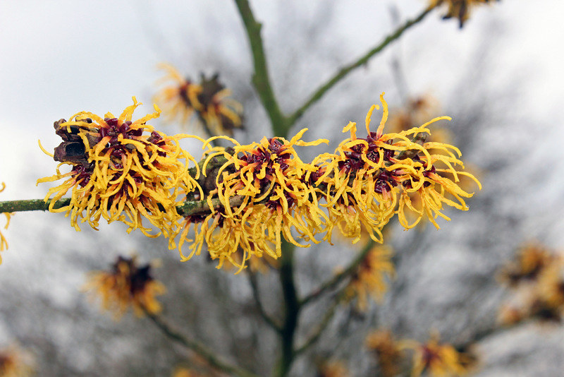 Hamamelis × intermedia Rehder 'Orange Beauty' - BG Meise-0