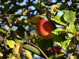 Apfel mit süßem Feuerkern der Pflanze 0029