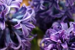 Hyacinthus II