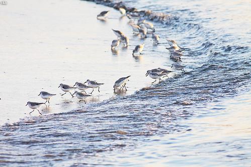 Pilrito-das-praias (Calidris alba)