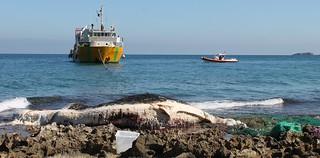Il capodoglio spiaggiato a Porto Cavallo e rimosso da una nave