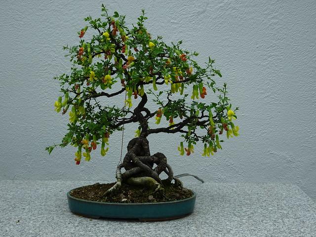 Chinese Peashrub