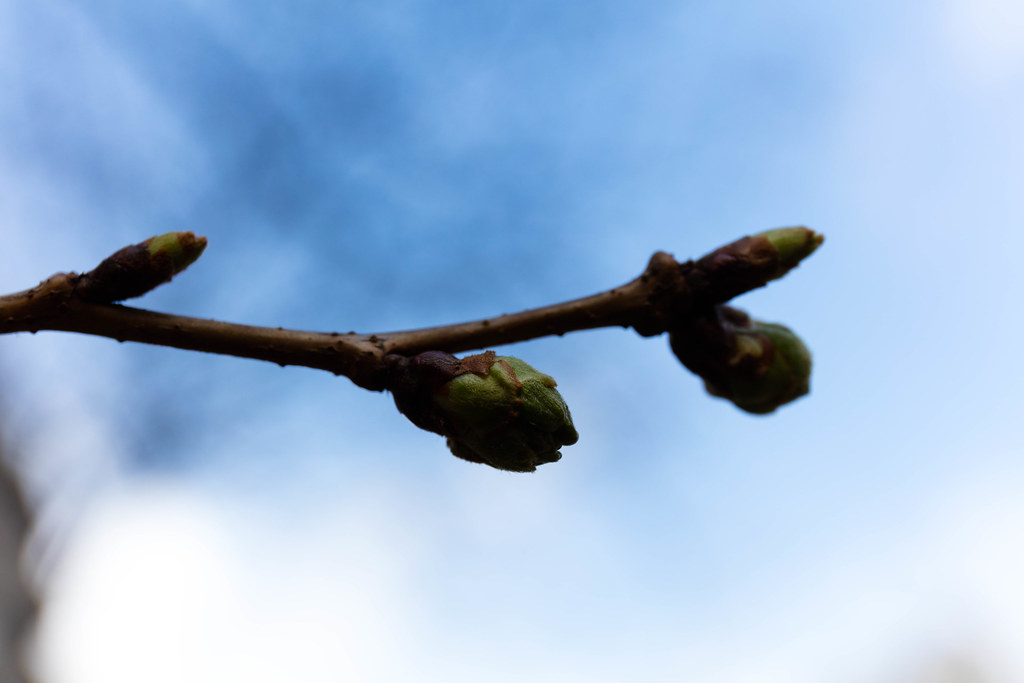 buds is unfolding itself.