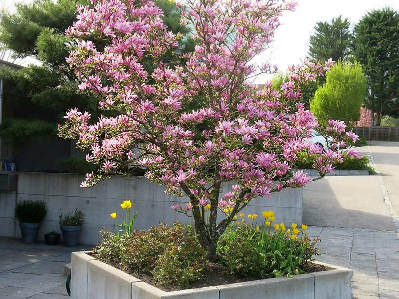 Magnolia 21.04.2016