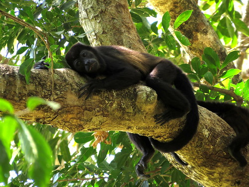 monkey mono sad triste canopy observando dosel