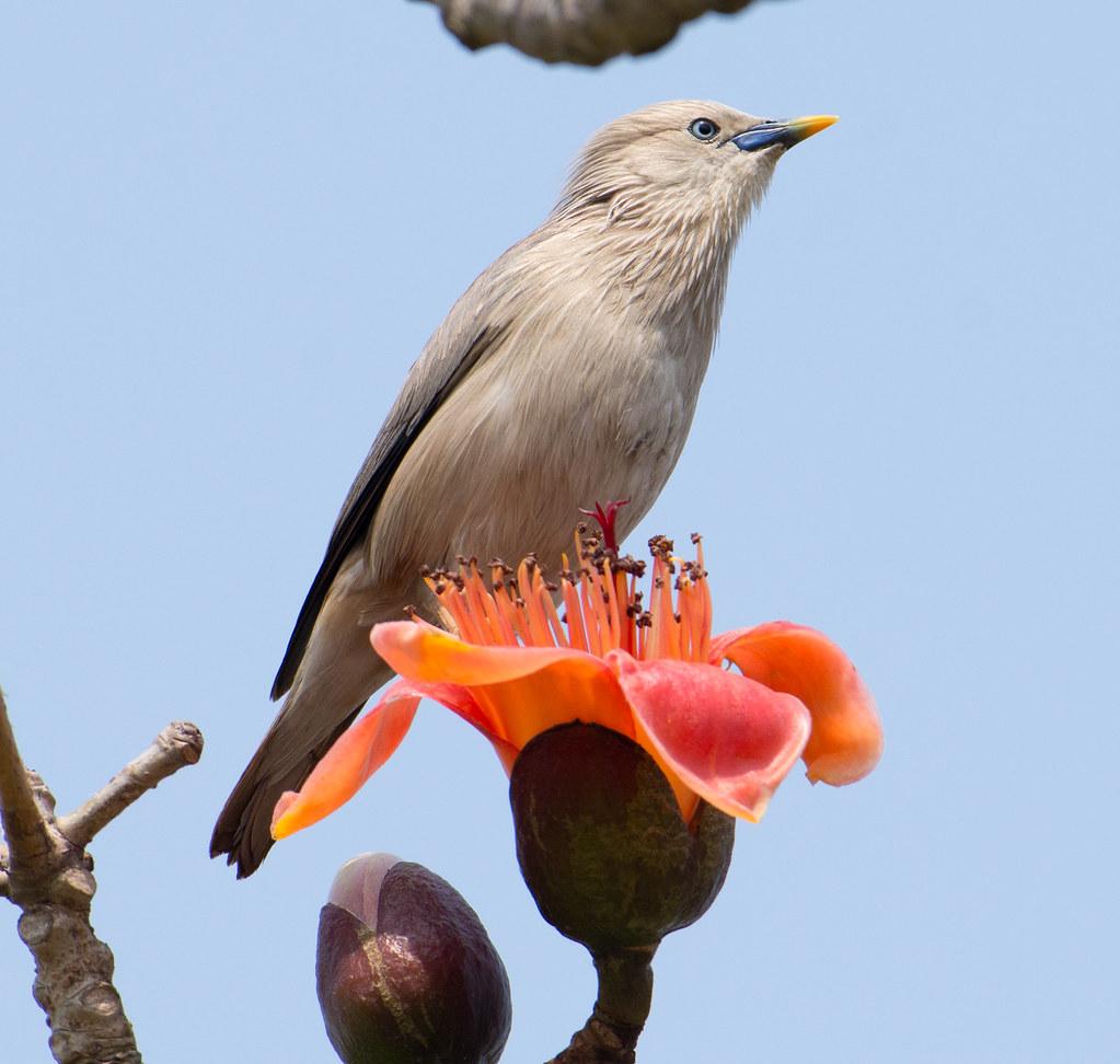 林初埤的栗尾椋鳥