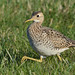 Upland Sandpiper by malcolmgold