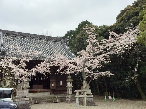 洲原公園  桜