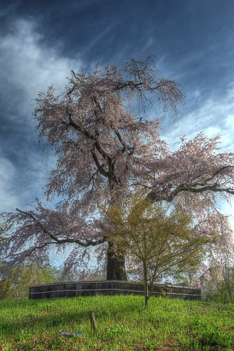 A famous tree of Sakura at Maruyama Park, Kyoto on APR 06, 2016 (19)