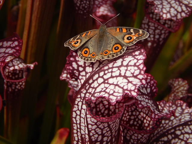 Meadow Argus butterfly on a white topped pitcher plant