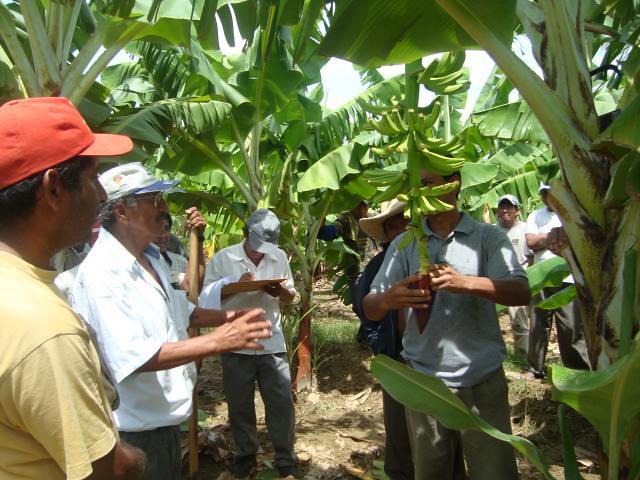 Pequeños Productores Banano Orgánico en Valle Bajo Chira