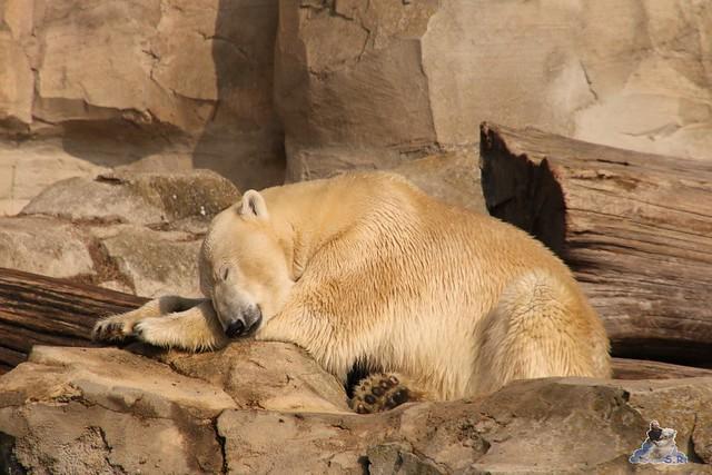 Eisbär Lili im Zoo am Meer Bremerhaven 09.04.2016 Teil 1  01