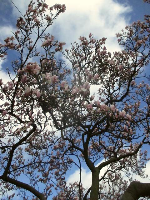 magnolias on Rembrandtplein