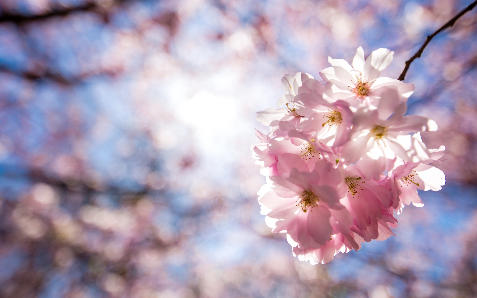 Bispebjerg Sakura-3398-2