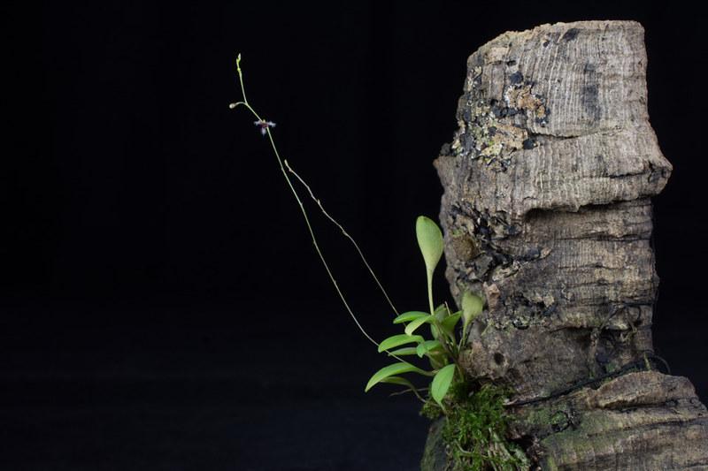 Miniatur-Orchideen Teil 3 23790094004_bcb76c3cfa_c