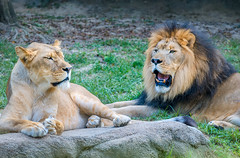 Lion and lioness at the Memphis Zoo in Memphis Tennesee