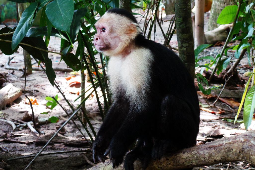 Manuel Antonio - Capuchin Monkey