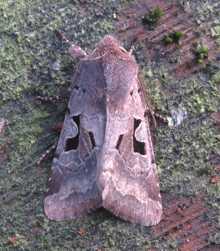 Hebrew Character Orthosia gothica Tophill Low NR, East Yorkshire January 2016