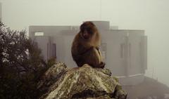 Mournful monkey