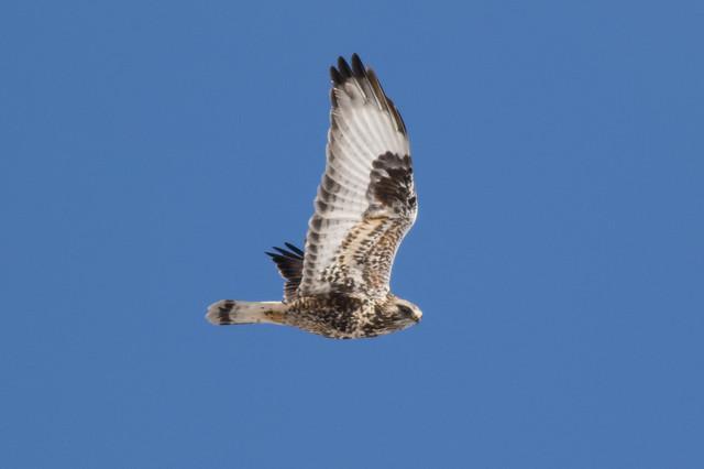 Rough-legged Hawk - Michigan - 1/2016