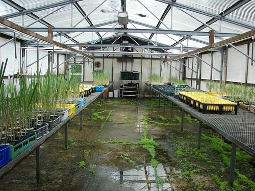starr-080608-7383-Eragrostis_variabilis-in_pots-FWS_Greenhouse_Sand_Island-Midway_Atoll