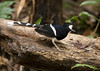 เขนน้ำหัวขาว White-crowned Forktail - Enicurus leschenaulti