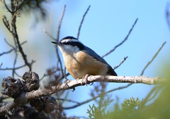 Red-breasted Nuthatch at Alameda Point campground