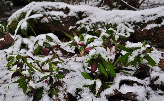 Helleborus orientalis (hybridus) (3)