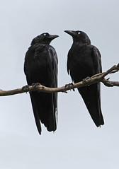 Black Crows 002