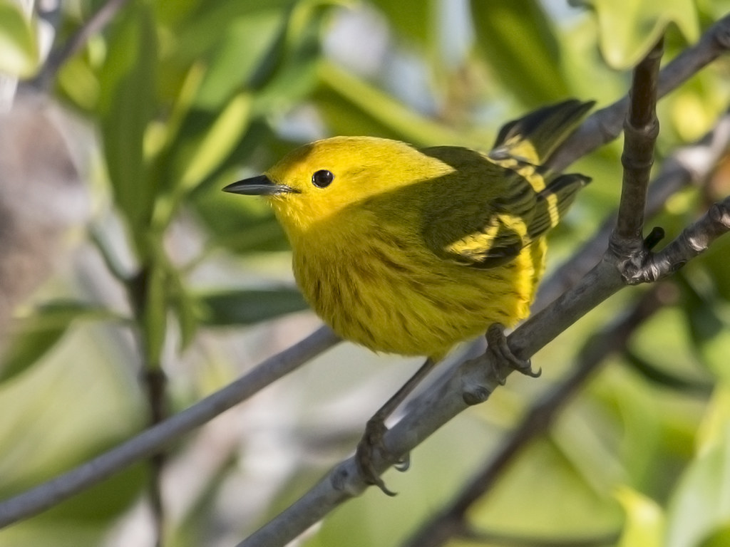Yellow Warbler   Cuba