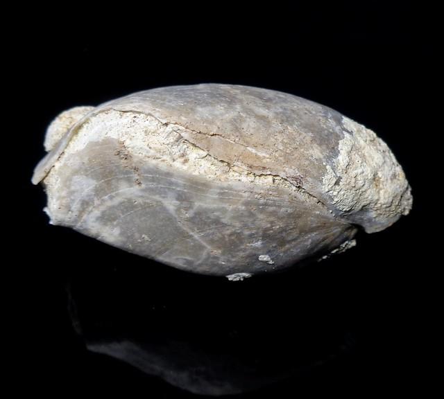 Terebratula brachiopod